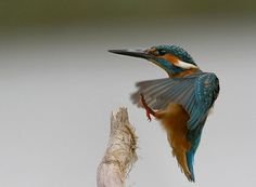 15 Breathtaking Examples of Minimal Photography of Birds #kingfisher #bird #photography #mvbalkom #landing