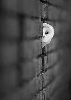 Peeking Owl Emphasis