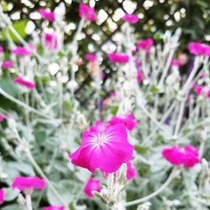 Lychnis Flower Picture