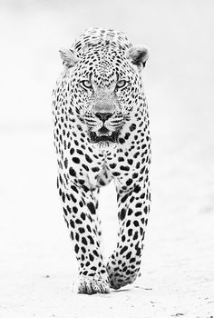 "CJWHO â""¢ (male leopard by shaun walton A large male leopard...) #leopard #amazing #shaun #white #walton #and #black #photography #fav #animals"