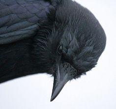 tumblr_lbxpdziYMy1qamm7n.jpg (500×472) #crow