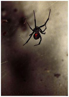 DETHJUNKIE* #widow #spider #black