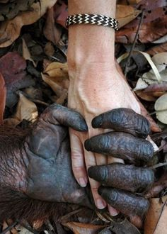 this isn't happiness™ (I got you babe), Peteski #photography #hand #love #fingers #human #touch #primate #orangutan #grasp
