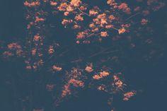 Cherry_Tree_Berlin_01