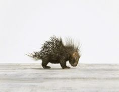 Baby Porcupine - Sharon Montrose - Animal Photos - Wildlife Photography - Limited Edition Prints - Nursery Decor -Wall Decor -Gift Ideas - Unique Gift #montrose #photography #sharon #porcupine