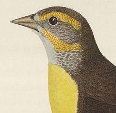 Yellow-headed blackbird Female.jpg (Immagine JPEG, 285x276 pixel) #illustration #bird