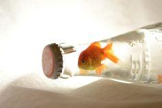 tumblr_ly2v3oW7Lw1qb32u7o1_500.jpg on imgfave #goldfish