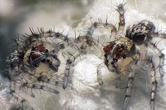 Lynx Spiders #photography #spiders #microscope