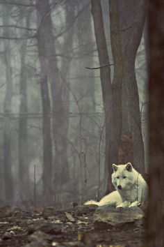 free #animal #photography #dog #forest #trees #woods #wolf #canine