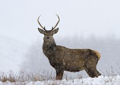 All sizes   Red Deer in snow   Flickr Photo Sharing! #deer #red #snow #winter