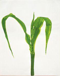 ellsworth kelly | corn, plant drawings