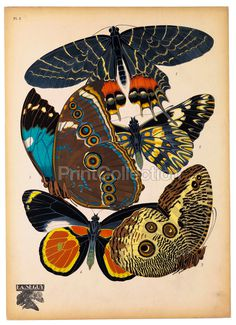 PrintCollection #butterflies #entomologist #modern #classic #french #posters #deco #papillons