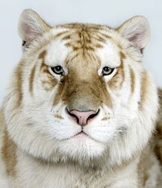 In pictures: The four faces of the Bengal tiger | Environment | guardian.co.uk #tiger