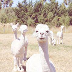 Vintage alpacas
