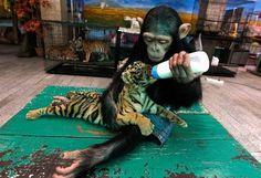 Wall Photos #tiger #cub #awesome #monkey