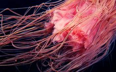 Clione #pink #photo #underwater #creature