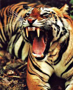 DeadFix · #tiger