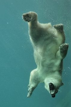 1qsnxf.jpg (598×900) #icebear