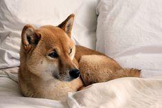 mode d'amour #puppy #inu #shiba #akita #dog