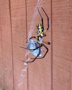 Garden Spider vs June Bug #garden #spider #vs #june #bug