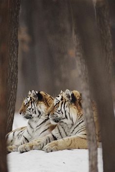 Tigers, animals