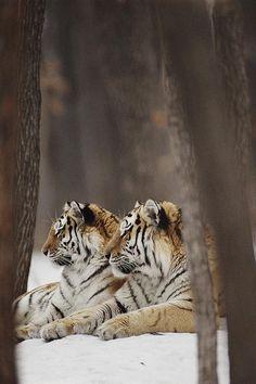 Tigers, animals