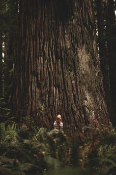 up #gigantic #tree #redwood #small #big #looking #wood #nature #up #massive #bark #huge #forest #feel