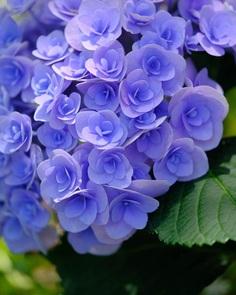 Hydrangea flowers by Skyblue