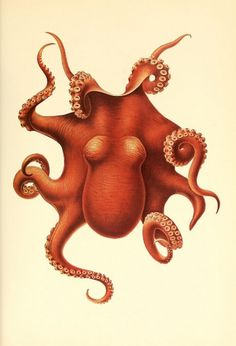 Illustrations of cephalopods | The Green Box #illustration #cephalopod #octopus