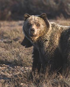 Amazing Wild Animals in Grand Teton National Park by Nick Sulzer