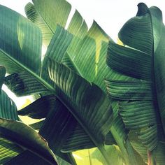 SHUT UPPP #plant #palm #banana tree #leaves #botany #botanical #banana #bird of paradise
