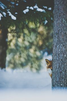The Empire Strikes Back #fox #woods #calm #forest #animal #winter