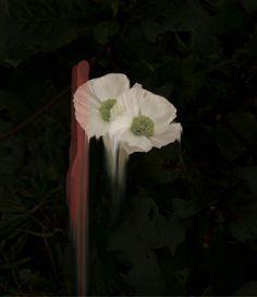 Simone Webb   PICDIT #flower #photo #photography #art
