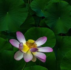 Lotus Among Leaves_DSC6952-copy-1-A-4-C-2