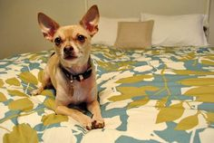 Dog Talk: Burger's Home Renovation Survival Tips | Dog Milk #pattern #animal #bed #chihuahua #dog
