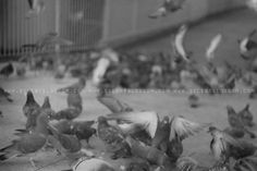 Silent Blossom #film #white #silent #london #pigeons #blossom #black #photography #and