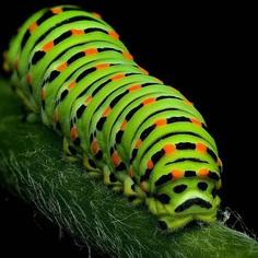 Papilio Machaon Catapiller