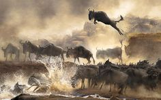 Winners of the 2014 Sony World Photography Awards, Part I In Focus The Atlantic #stampede #flee #water #africa #photography #nature #jump #wildebeest #herd #splash #leap #animal