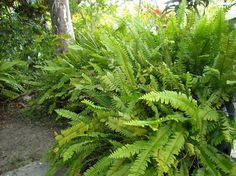 Google Image Result for http://www.pangeascapes.com/web-files/images/Sword_Fern.jpg #ferns