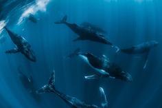 Spectacular Underwater Photos of Whales by Jasmine Carey