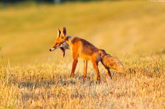 35 Lovely Fox Pictures #pictures #fox