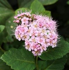 Filipendula Flower Picture