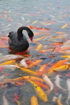 All sizes | Black Swan #photography #fish #swan