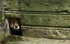 Kai Fagerström #nature #photography #fox #animals