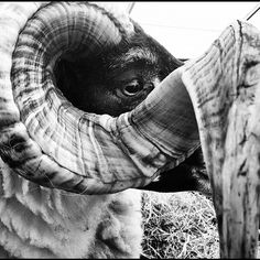 Ollie Hooper #white #black #horns #farm #show #animals #sheep #ram