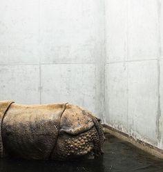 Melancholia i smutek zwierząt z ogrodów zoologicznych na poruszających zdjęciach | Fotoblogia.pl #photo #rhino #zoo #structure