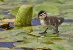 Duckling walking on waterlily leaves #waterlily #on #walking #duckling #leaves