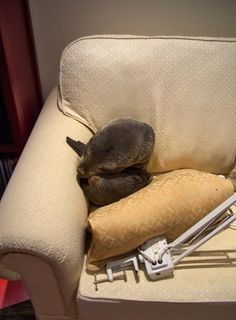 Baby Seal Enters House, Sleeps On Couch (PHOTOS) #seal