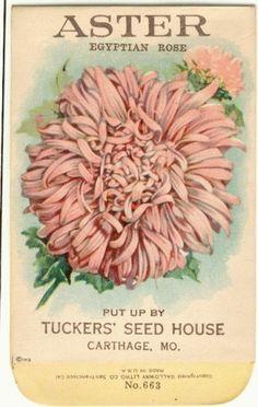 Spring / Vintage Flower Seed Packet Tuckers Seed House by gardenlelah