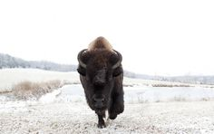%C2%A92011+KatyaKirilloff+All+Rights+Reserved.jpg (1000×629) #photography #bison